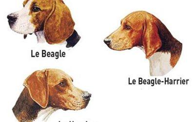 Anatomie du Beagle