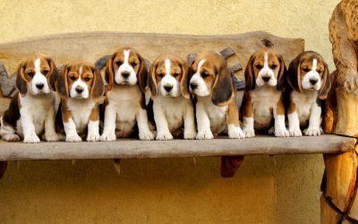 La santé du Beagle